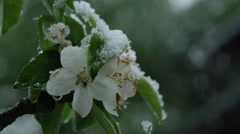 DOF: Fly hiding from snow in blooming cherry tree twig in extreme spring weather Stock Footage