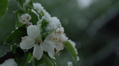 CLOSE UP: Flowering cherry twig covered with snow in extreme clod wave in spring Stock Footage