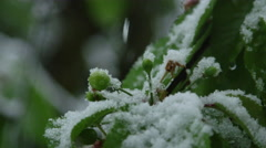 CLOSE UP: Unripe green cherries covered with snow on extreme weather springtime Stock Footage