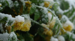CLOSE UP: Lush bush with yellow flowers bending under off season snow in spring Stock Footage