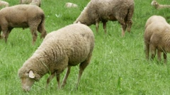 Sheep on a meadow Stock Footage