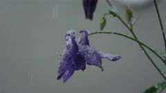 CLOSE UP: Snow falling on stunning purple lily in extreme weather in spring Stock Footage