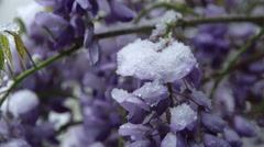 CLOSE UP: Snow falling on stunning lilac bush in extreme cold weather in spring Stock Footage