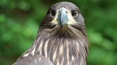 Sea eagle Stock Footage