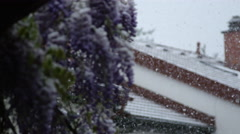 DOF: Astonishing flowering lilac bush covered with snow in extremely cold spring Stock Footage