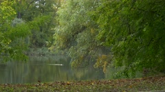Park or Forest in Autumn Day Duck Mallard Bird Swimming Green Trees Branches Stock Footage