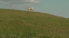 Hungarian Grey cattle Stock Footage