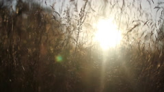 Extreme close-up detail of tall grass blowing in the wind. Stock Footage