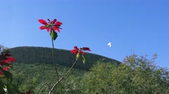 A Butterfly Lands on a Beautiful Red Flower, with Mountains in the Background Stock Footage