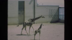 1969: trip to the zoo, saw giraffes ad rhinos COLORADO SPRINGS COLORADO Stock Footage