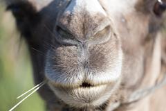 Mouth of a camel Stock Photos