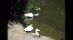 1968: vintage clip of duck and swans Stock Footage
