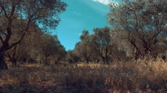 Camera dolly of Olive trees field in South of France Stock Footage
