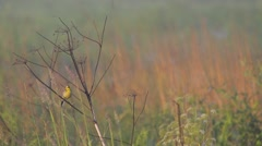 Citrine Wagtail. Song. Stock Footage