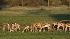 Feeding springbok antelopes, Kgalagadi Transfrontier Park, South Africa Stock Footage