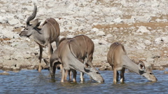 Kudu antelopes drinking water, Etosha National Park, Namibia Stock Footage