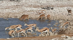 Springbok and impala antelopes at a waterhole, Etosha National Park, Namibia Stock Footage