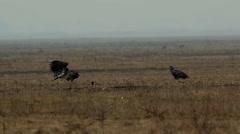 Three White-tailed eagles, Hortobagy Stock Footage