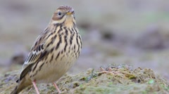 Red-throated pipit. Autumn. Stock Footage