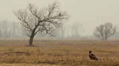 White-tailed eagles on the grassland and on the tree, Hortobagy Stock Footage