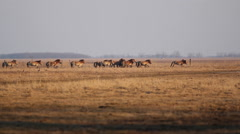 Przewalski's horse, wild horses gallop in the lowland at late afternoon Stock Footage