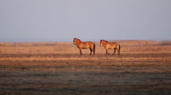 Przewalski's horse, wildhorse in the lowland at late afternoon Stock Footage