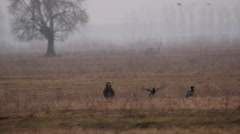 White-tailed eagles on the Hortobagy Stock Footage