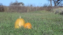 Two Pumpkins Lying in the Grass. Autumn Wind Blows and Stirs the Grass. Sunny Stock Footage