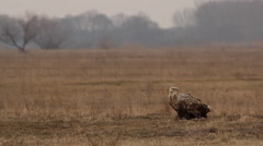 White-tailed eagle standing on the ground Stock Footage