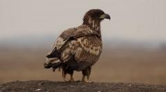 White-tailed eagle close-up, Hortobagy National Park Park Stock Footage
