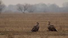 Two White-tailed eagle, Hungary, Hortobagy National Park Park Stock Footage