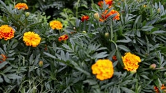 Orange and red marigold Stock Footage