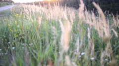Phragmites is a genus of four species Stock Footage