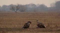 Two White-tailed eagles, Hortobagy Stock Footage