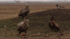 White-tailed eagle on the feeding place Stock Footage