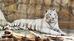 Beautiful white tiger at rest Stock Footage