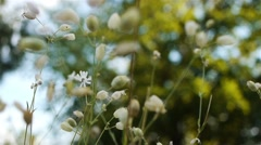 Silene vulgaris, bladder campion or maidenstears Stock Footage