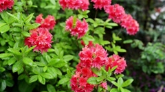 Rhododendron molle is native to China and Japan Stock Footage
