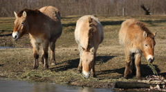Przewalski's horses in the Hortobagy National Park grazing, watering Stock Footage