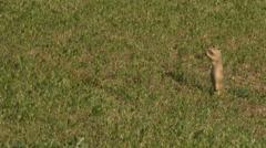 European Ground Squirrel, grassland in Hungray Stock Footage