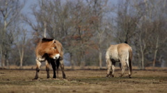 Two Przewalski's horses in the Hortobagy National Park Park Stock Footage