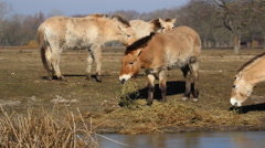 Przewalski's horses in the Hortobagy National Park grazing Stock Footage