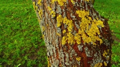 Xanthoria parietina is foliose, or leafy, lichen Stock Footage