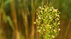 Erigeron canadensis (Conyza canadensis) Stock Footage