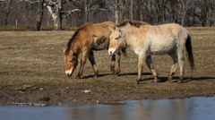 Przewalski's horses in the Hortobagy National Park Park Stock Footage