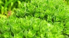 Sedum (stonecrop Spanish) Stock Footage