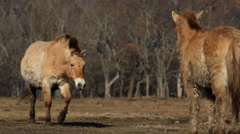 Przewalski's horses herd walking, wild horses, close-up Stock Footage