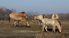 Three Przewalski's horses herd, wild horses, horse foal, Hungary Stock Footage