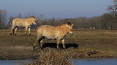 Przewalski's horses graze, wild horses Hungary Stock Footage