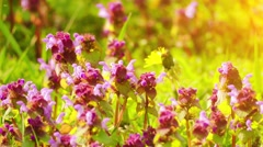 Lamium purpureum, known as red dead-nettle Stock Footage